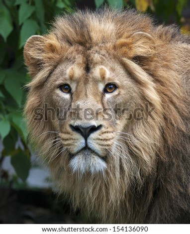 Calm stare of an Asian lion in forest. The King of beasts, biggest cat of the world, looking straight into the camera. The most dangerous and mighty predator of the world. Wild beauty of the nature. - stock photo