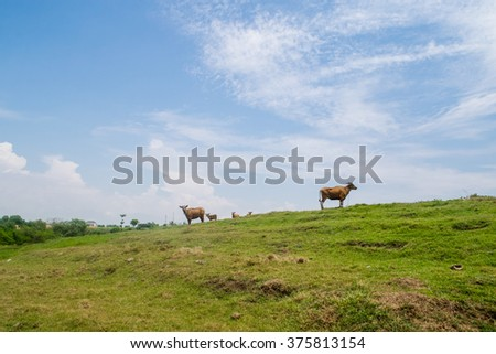 Calmness and peace in the photo: blue sky, green grass and peaceful cows  - stock photo