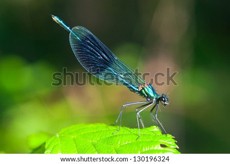 Calopteryx virgo - stock photo