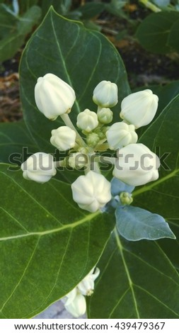 Calotropis . It is one of Thailand flowers .
