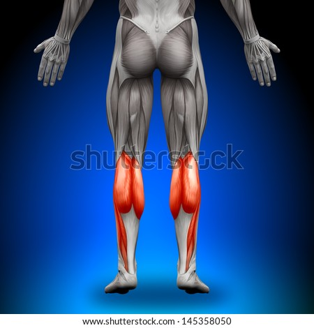 Calves - Anatomy Muscles - stock photo