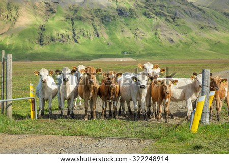 Calves at a pasture in Iceland - stock photo