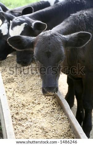 Calves eating grain - stock photo