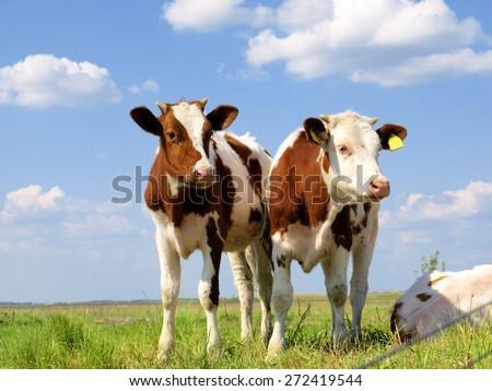 Calves on the field - stock photo