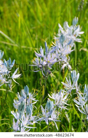 Camas in a field, Camassia quamash, along North Bank Road near Glide OR