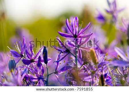 Camas lilies - stock photo