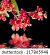 Cambria. Red and white flower orchid with water reflection - stock photo