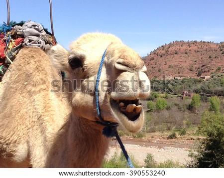 Camel 2 - stock photo