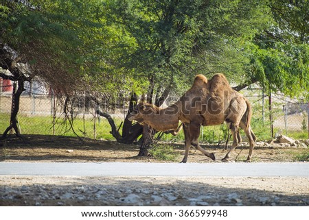 Camel at Al Dosari Zoo and Game Reserve, Ash-Shahaniyah