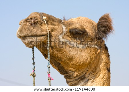 Camel at the Pushkar Fair, Rajasthan, India - stock photo