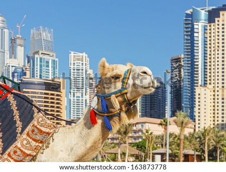 Camel at the urban building - stock photo