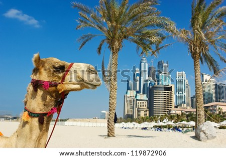 Camel at the urban building background of Dubai. UAE