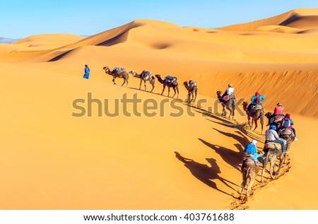 Camel caravan going through the sand dunes in the Sahara Desert - stock photo