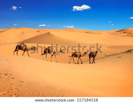 Camel caravan in the Sahara desert, Morocco  - stock photo