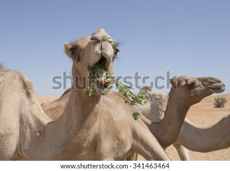 Camel eating grass with his mouth open and teeth showing amongst a group of camels at a farm in the desert in the United Arab Emirates - stock photo