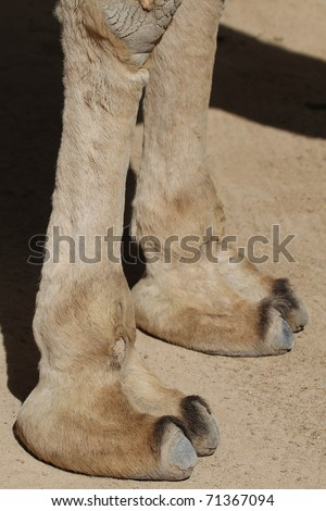 Camel feet closeup waiting for the next ride