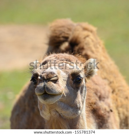 Camel head shot - stock photo