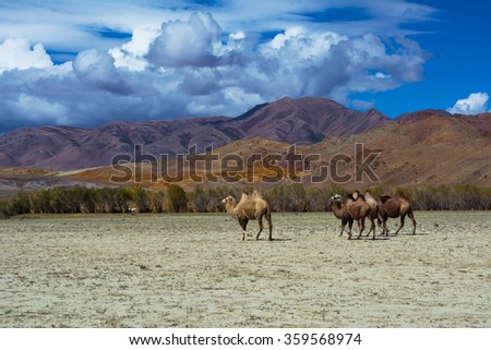 Camel herd and Mountain View steppe landscape, blue sky with clouds. Chuya Steppe Kuray steppe in the Siberian Altai Mountains, Russia