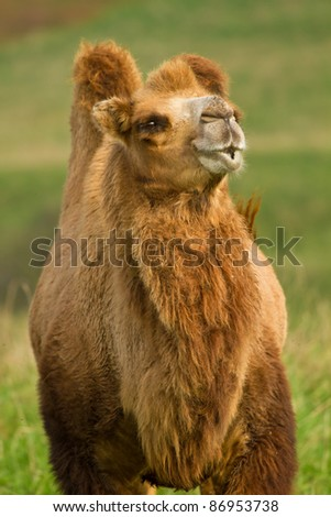 Camel in a pasture - stock photo