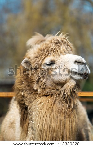 Camel in a zoo. Portrait of a muzzle of a camel.
