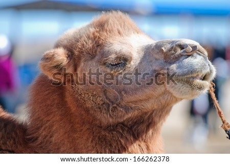 camel in desert, northwest of China