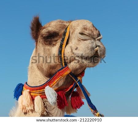 camel in Dubai - stock photo