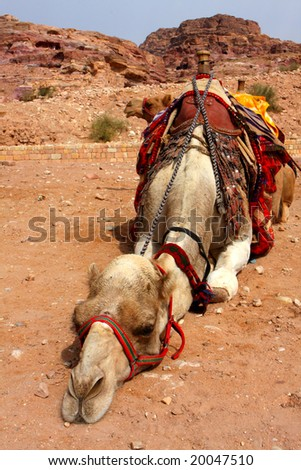 Camel in Petra, Jordan - stock photo