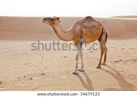 Camel in Sahara desert in Morocco. Horizontal shot. - stock photo