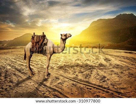Camel in sandy desert near mountains at sunset - stock photo