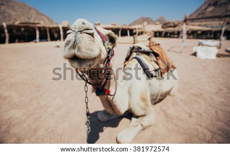 Camel in Sharm El Sheikh