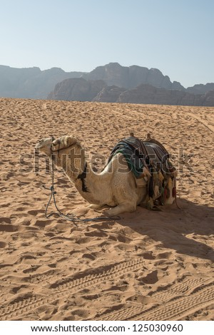 Camel in the desert - stock photo