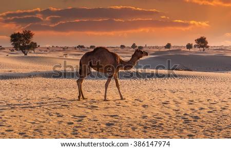 Camel in the desert at sunset of Dubai - stock photo