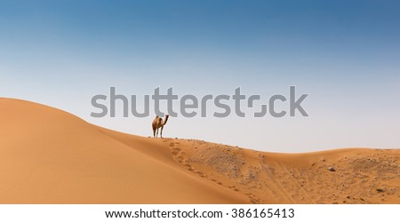Camel in the desert Dubai