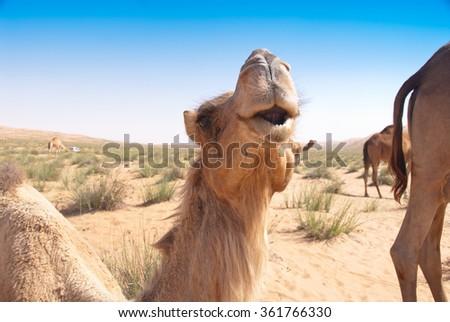 Camel in the desert dunes under deep blue sky. Wahiba Sands Desert, Oman. - stock photo
