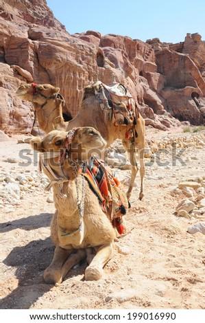 Camel in the desert of Jordan - stock photo