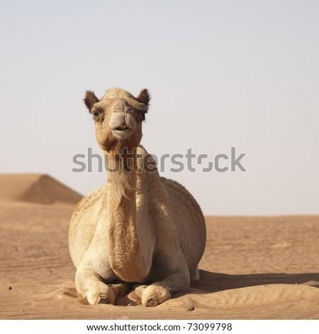 Camel in the desert outside Dubai in UAE. - stock photo