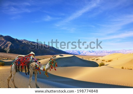 Camel in the desert song. Dromedary yells at the sand dunes. Dromedary decorated with picturesque harness and bright red blanket - stock photo