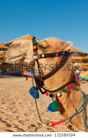 Camel in the egyptian beach waits for the tourists to ride - stock photo