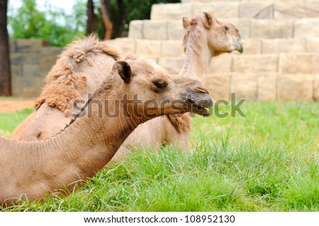 Camel in Zoo Thailand