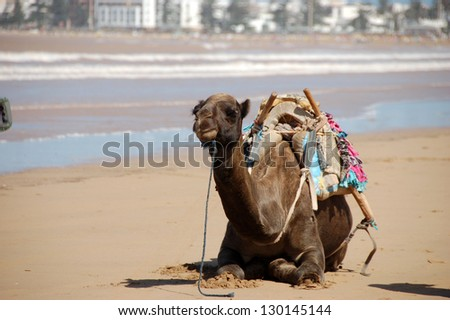 Camel is sitting by the ocean, Morocco