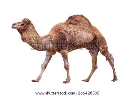 Camel isolated on white - stock photo