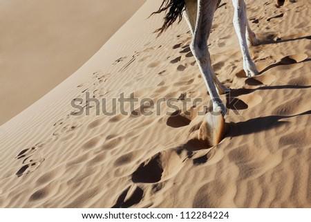 Camel legs walking in sand in the Sahara desert. - stock photo