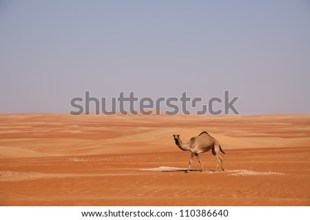 Camel looking at the camera while walking through dunes in the Emirates