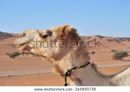 camel looking in lens - stock photo