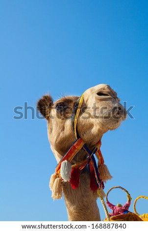 Camel on blue sky background - stock photo
