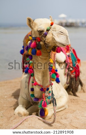 Camel on the beach - stock photo