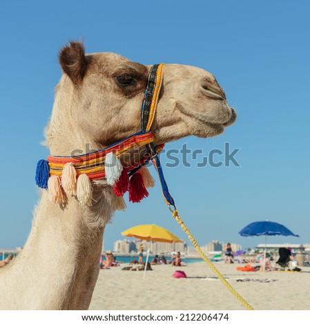 Camel on the beach in Dubai Marina - stock photo