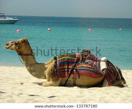 Camel on the beach in Dubai, UAE - stock photo