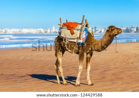 Camel on the beach in Morocco.  Location: Essaouira on the Atlantic coast, pictured in the background. - stock photo