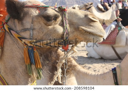 camel portrait - stock photo